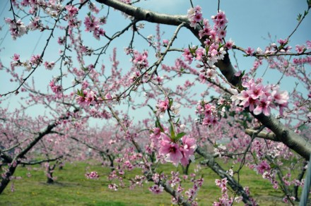 小布施町で見た桃の花