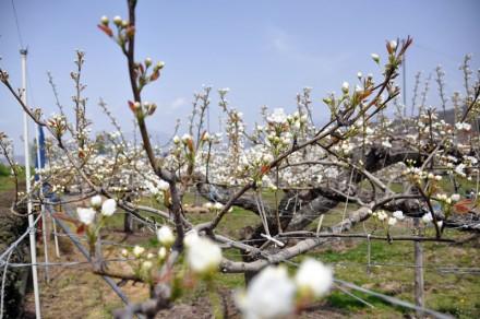 小布施町で見た林檎の花