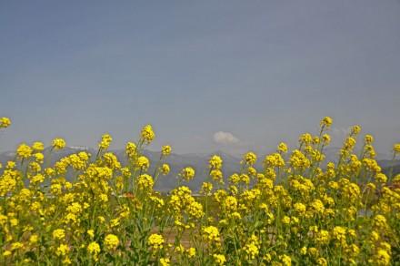 千曲川沿いに咲き乱れる菜の花